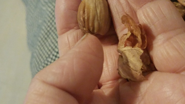 Remove the papery husk from the nut. The husk is bitter and needs to be removed.