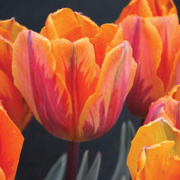 Prinses Irene Tulip